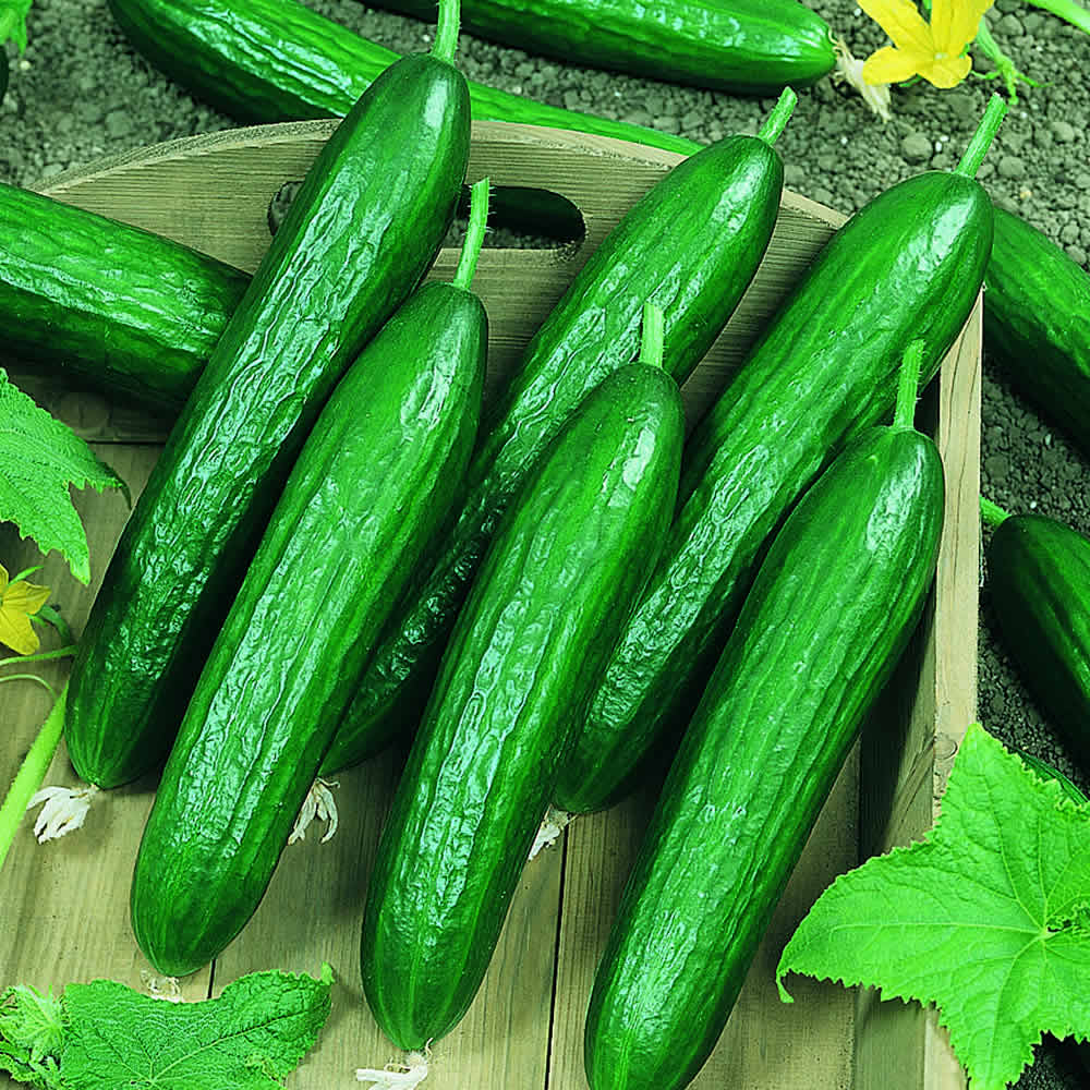 Persian cucumber a product of our catalog