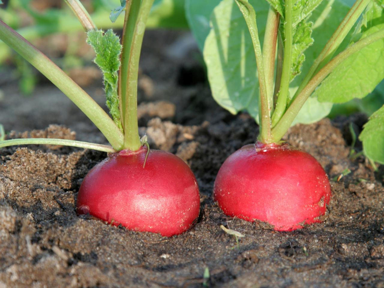 Red radish a product of our catalog